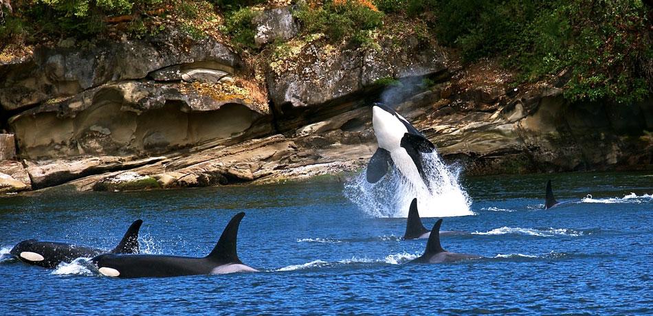 San Juan Orcas