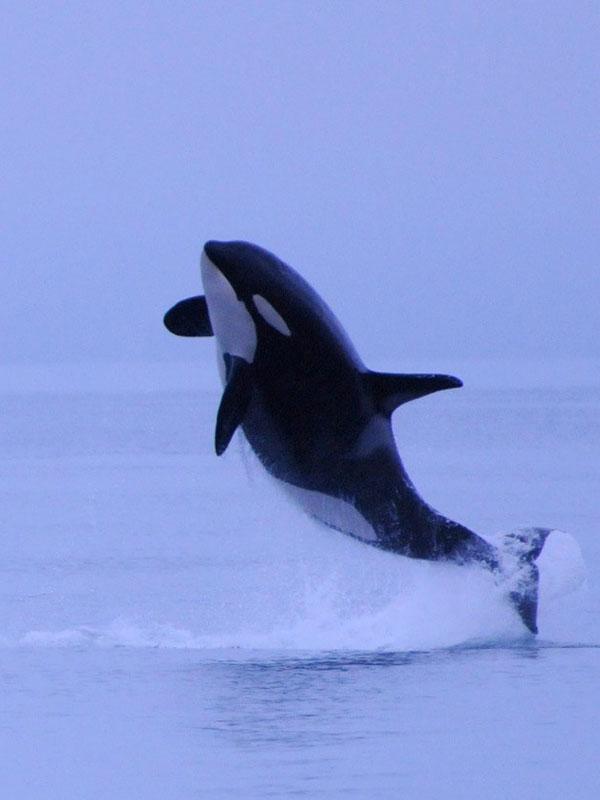 Orca on San Juan Islands
